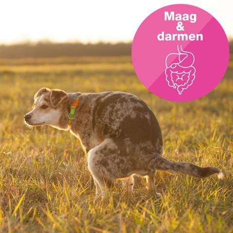 giardia honden)