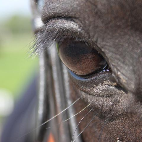 EHV-2 richt zich op het paardenoog-L-Lysine-NML-health