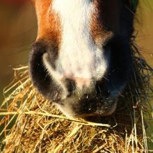 Maagzweren paard_nmlhealth
